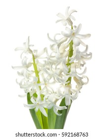 White Hyacinth on white background