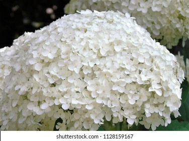 white hydrangea  aborescens Annabelle flower