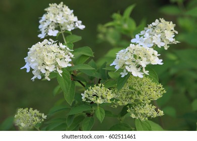The white hydrangea bush with green leaves at rainy day in the garden.