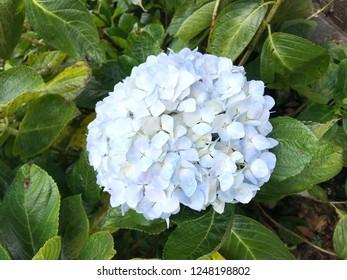 White Hydrangea flower (Hydrangea macrophylla) blooming in garden. Hydrangea macrophylla - Beautiful bush of hortensia flowers. Hortensia flowers. Decorative plants concept in garden. Selective focus.