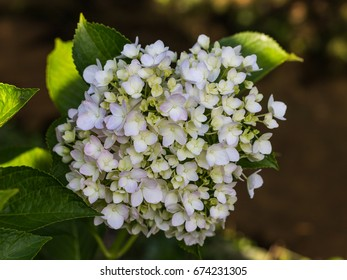 White Hydrangea Flower, one of the summer flower blooming in Yamaguchi City, Japan.