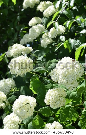 White hydrangea flower shrub climbing plant stock photo edit now white hydrangea flower shrub or climbing plant with rounded flattened flowering heads of small florets mightylinksfo