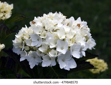 white hydrangea flower, spring, background, flowers, flower, nature, floral, garden, summer, beautiful, landscape, pink, blossom, white, tree, green, sun, field, season, beauty, natural, plant, botany