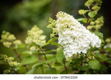 white hydrangea flower.Abundant Hydrangea Limelight Paniculata ,Hortensia flowers, beautiful bush in garden