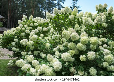 White hydrangea flowering bushes  in the garden in daylight, large, high and dense hydrangea plants with  blossoms  in summertime in the garden, close up nature details
