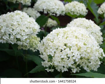 white hydrangea flowers after the rain