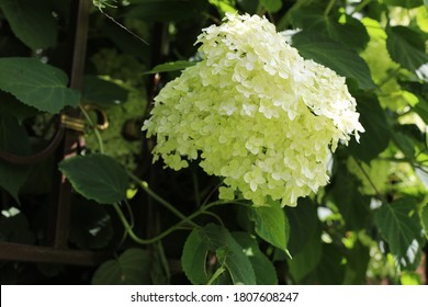 White Hydrangea Paniculata Limelight flowers in garden. Close up of adorable summer blooming flowers in the village.