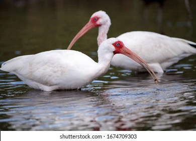White ibis bird Eudocimus albus wades through a marsh and forages for food in the Myakka River in Sarasota, Florida.