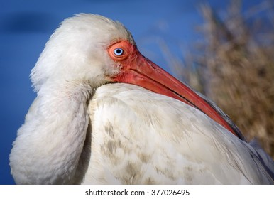 White Ibis Up Close Isolated