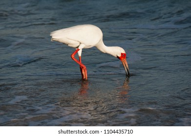 White Ibis ( Eudocimus albus) in breeding plumage foraging for food in shallow water on the Gulf of Mexico near St. Pete Beach, Florida.