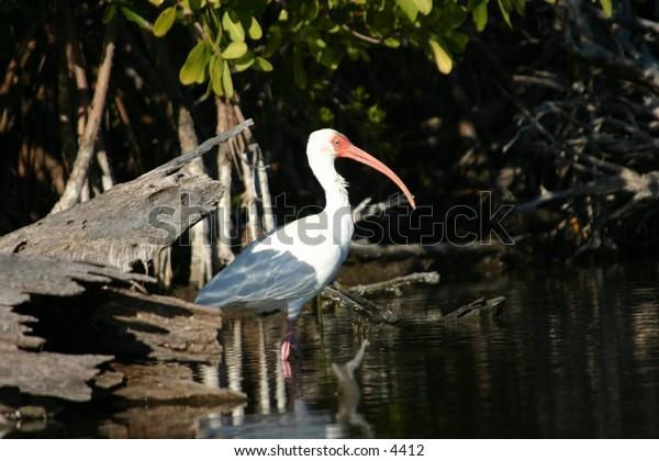 white ibis in everglades