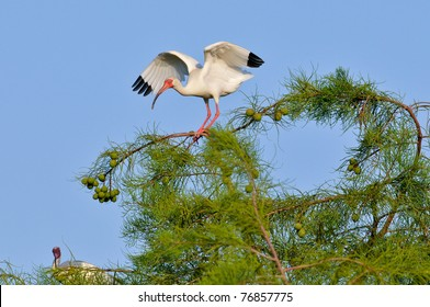 white ibis lands on cypress tree against blue florida morning sky