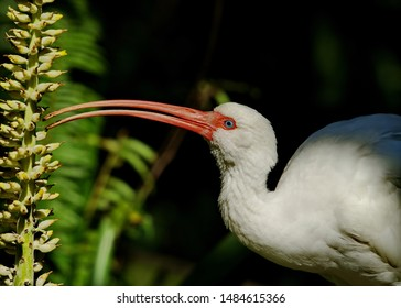 The White Ibis is one of the most popular wading birds in south Florida and is most numerous at the mangroves and rookeries.