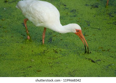 White Ibis wading in green algae hunting for food