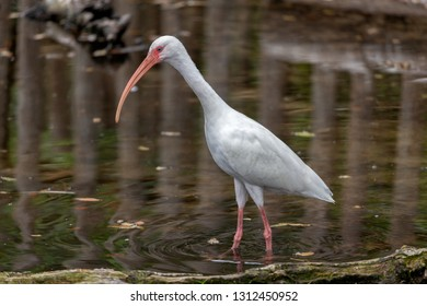 White ibis wading in water