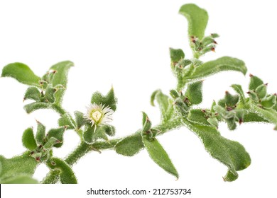 White ice plant flower on white background