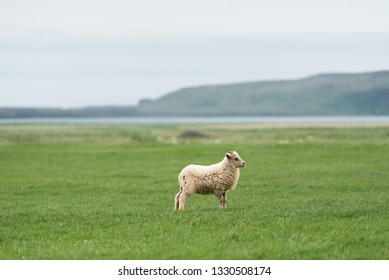 White Iceland sheep on pasture. Field with green grass. View of Cape Dyrholaey on the southern coast, not far from the village Vik