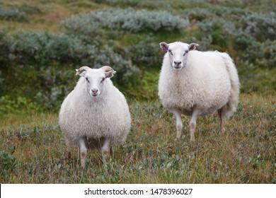 White Icelandic sheep close up