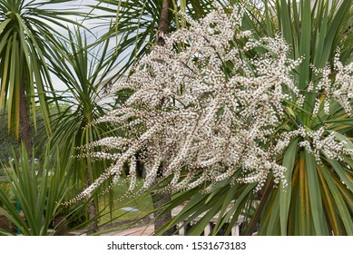 white inflorescence of Cordyline australis palm
