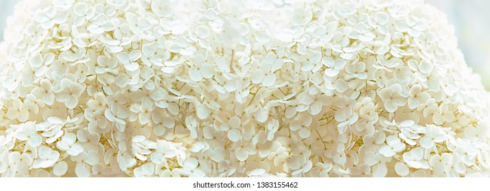 white inflorescence of hydrangea texture background close up. flowering hydrangea with beautiful white flowers blooming.  Close up Hydrangea Flower, pastel color. banner. copy space