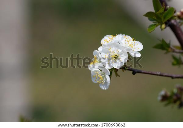 white-inflorescence-on-cherry-tree-600w-