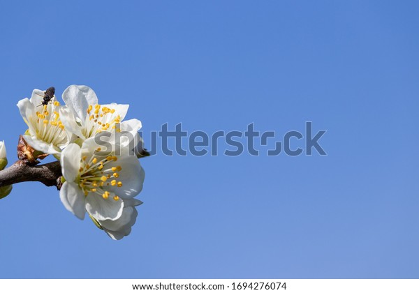 white-inflorescence-on-plum-branch-600w-