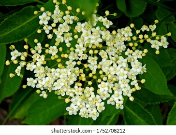 white inflorescences of a plant called black without growing in shady humid places in the city of Suwałki in the suburbs of Poland - Shutterstock ID 1752708212