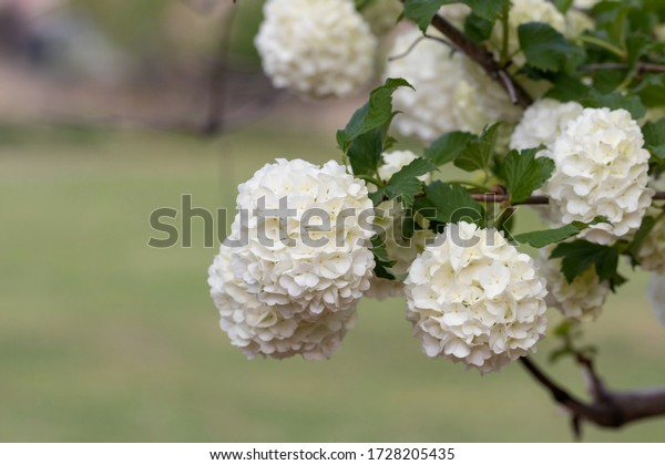 "White inflorescences of Viburnum cultivar ""Boulede Neige"" on a cloudy day"