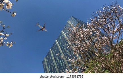 White ipe in bloom. Typical brazilian tree. Very beautiful, exclusive and delicate flowers in São Paulo, Brazil. Blue skies, wonderful sunny day. Airplane, trees and a building. Springtime