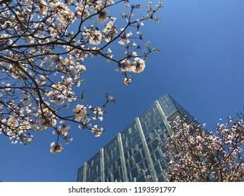 White ipe in bloom. Typical brazilian tree. Office building between very beautiful, exclusive and delicate flowers in São Paulo, Brazil. Blue skies, wonderful sunny day. Magical moment, springtime