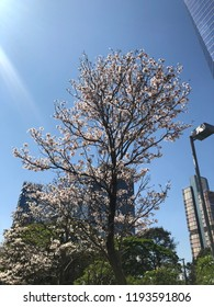White ipe in bloom. Typical brazilian tree. Very beautiful, exclusive and delicate flowers in São Paulo, Brazil. Blue skies, wonderful sunny day. Magical moment, springtime