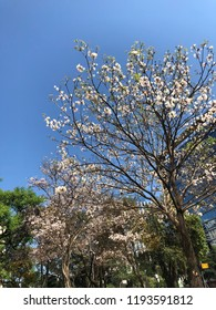 White ipe in bloom. Typical brazilian tree. Very beautiful, exclusive and delicate flowers in São Paulo, Brazil. Blue skies, wonderful sunny day. Magical moment. Springtime