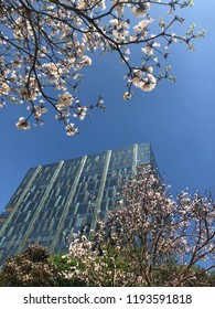 White ipe in bloom. Typical brazilian tree. Office building between very beautiful, exclusive and delicate flowers in São Paulo, Brazil. Blue skies, wonderful sunny day. Magical moment. Springtime