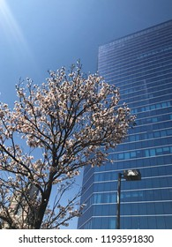 White ipe in bloom. Typical brazilian tree. Very beautiful, exclusive and delicate flowers in São Paulo, Brazil. Blue skies, wonderful sunny day. Magical moment, springtime. Office building