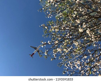 White ipe in bloom. Typical brazilian tree. Airplane flying over very beautiful, exclusive and delicate flowers in São Paulo, Brazil. Blue skies, wonderful sunny day. Magical moment, springtime