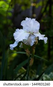 White iris blooms in the garden