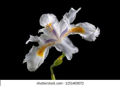 white iris flower closeup on black background