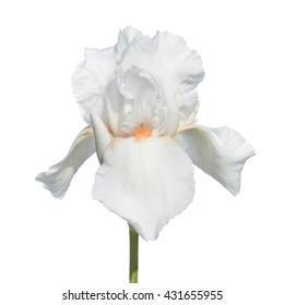 White iris isolated on white background