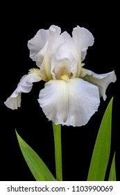 White Iris on black