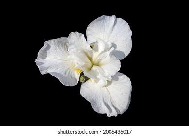 A white iris on a black background