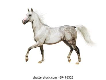 white isolated arab horse