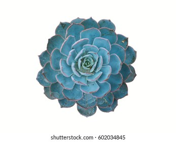 white isolated blue echeveria