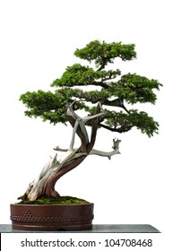 White isolated old temple juniper as bonsai tree
