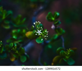 White isolated star shaped floral plant centered against a dark leafy background.