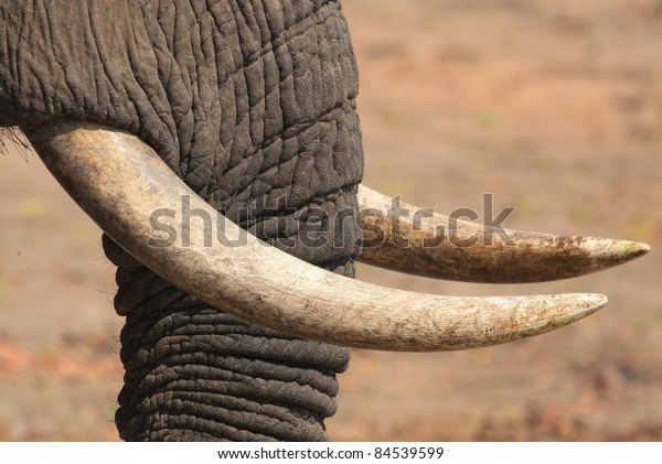 White ivory on grey trunk of elephant