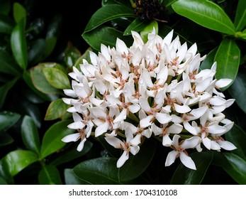 Weiße Ixora-Kakao mit grünem Laubhintergrund.Ist ein in der Familie Rubiaceae arrangierter Strauß.Die Natur der Blumen ist darauf zurückzuführen, in einem Strauß zusammen zu leben. Beliebte Bäume entlang des Zaunes
