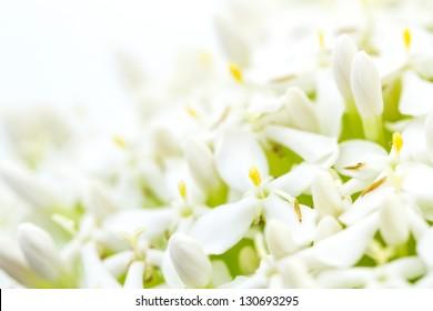 White Ixora or West Indian Jasmine Flower