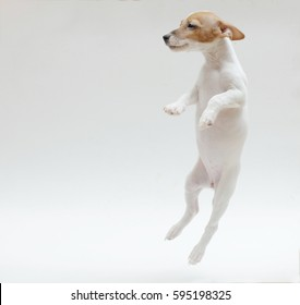 a white jack russell puppy is jumping on a white background