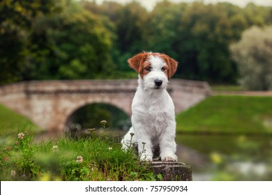 white Jack Russell Terrier dog sitting in the summer park on the background of the bridge