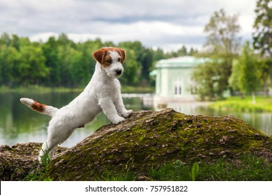 white Jack Russell Terrier dog standing on rock on background of the pond in the summer